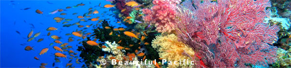 scuba diving soft corals in fiji