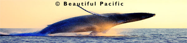 whale watching south pacific islands